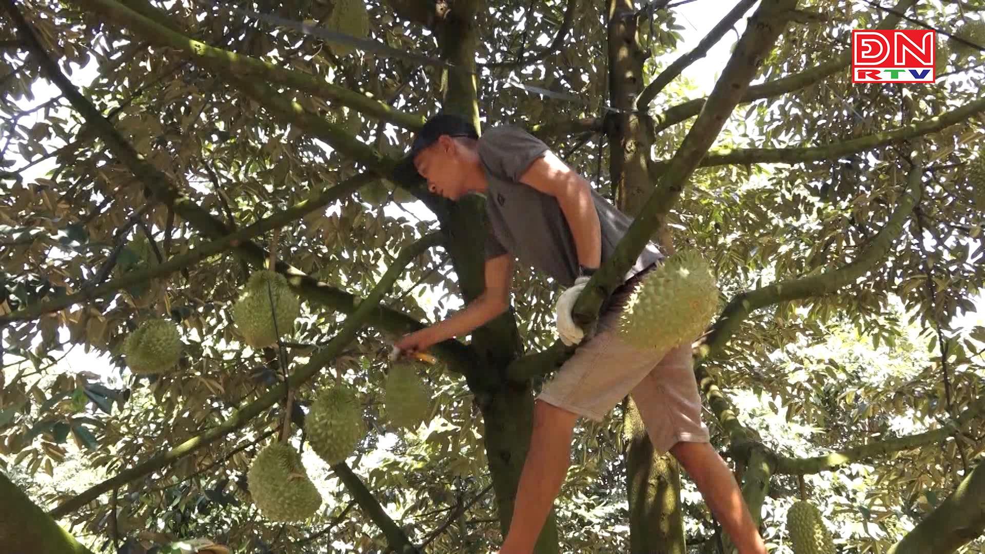Tân Phú: Sầu riêng rớt giá – người trồng gặp khó